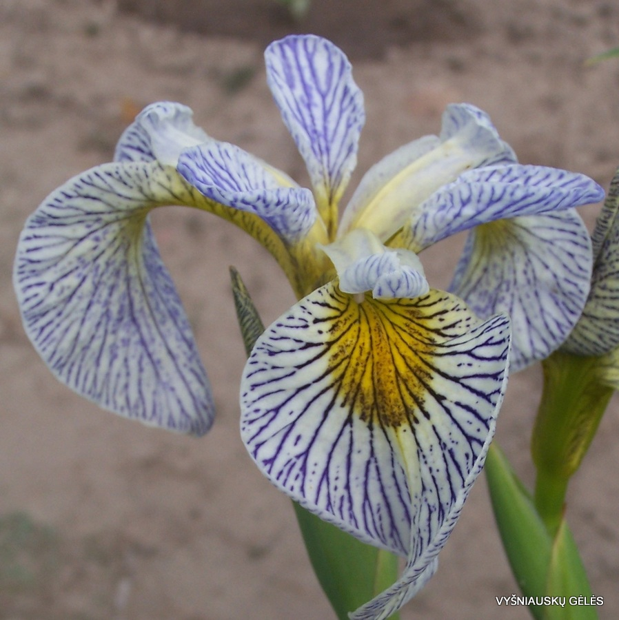 Other Iris species and hybrids