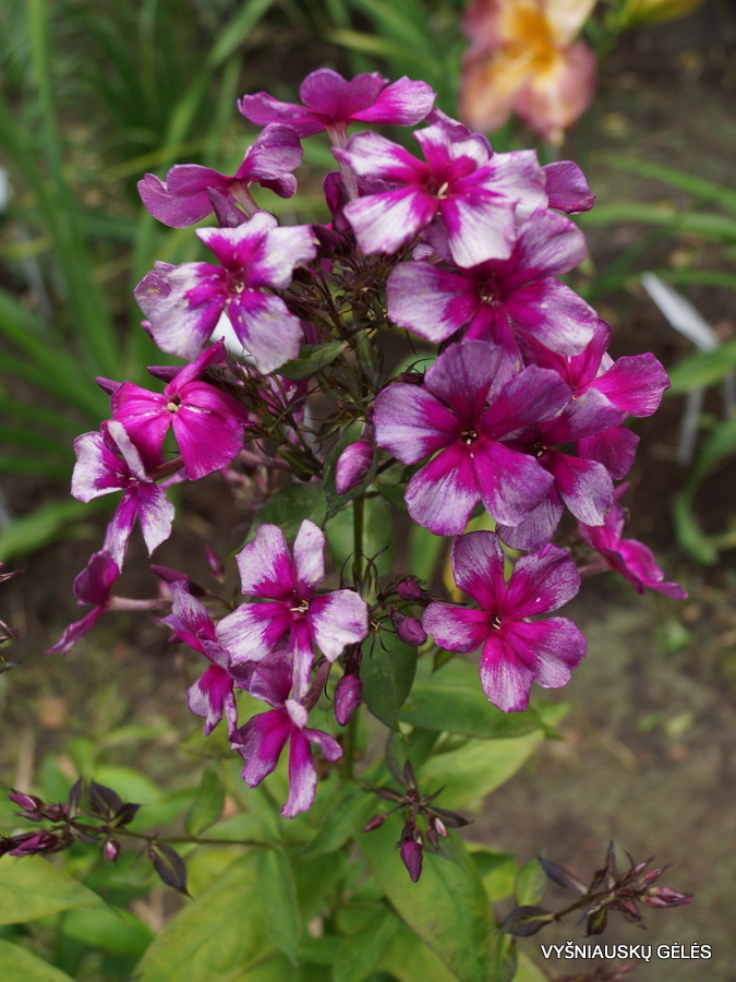 Phlox paniculata D