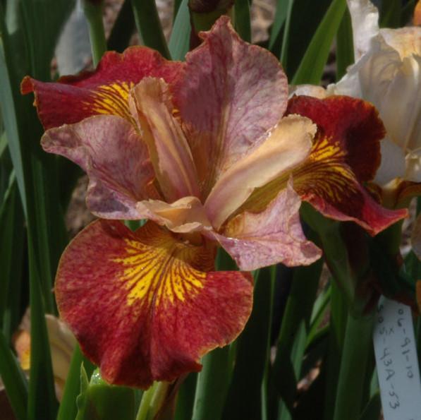 Iris sibirica H - P