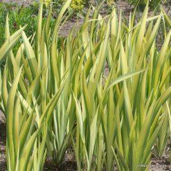 1-iris-pseudacorus-var.
