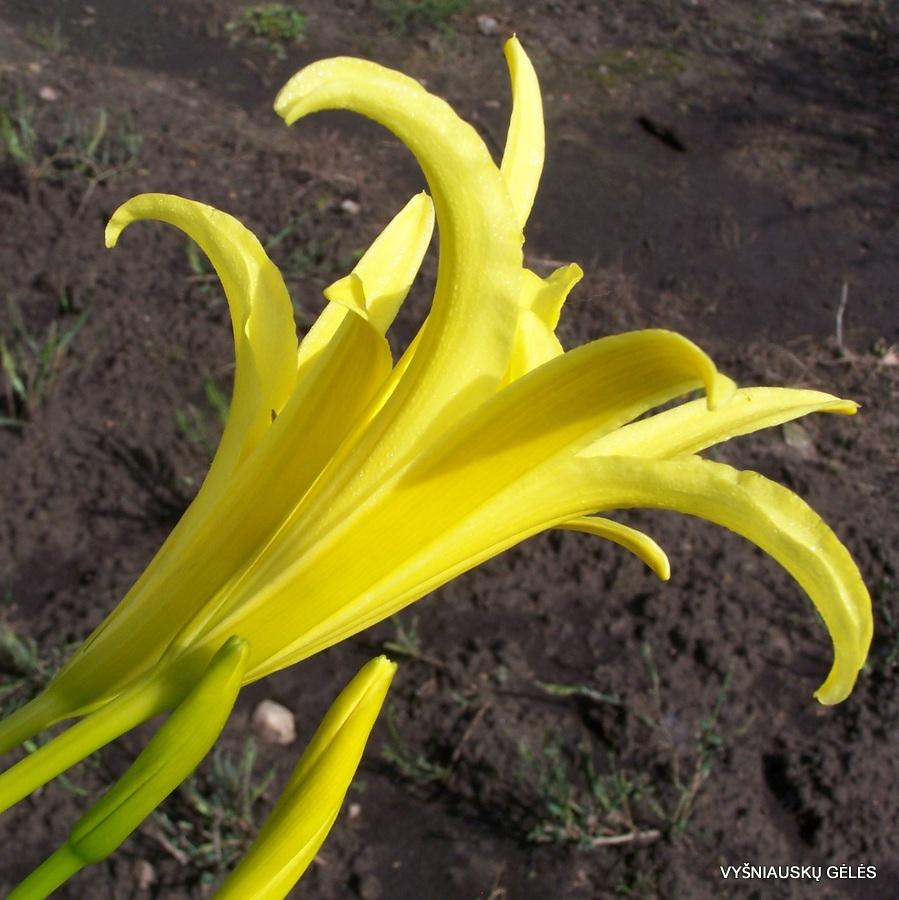 daylily species