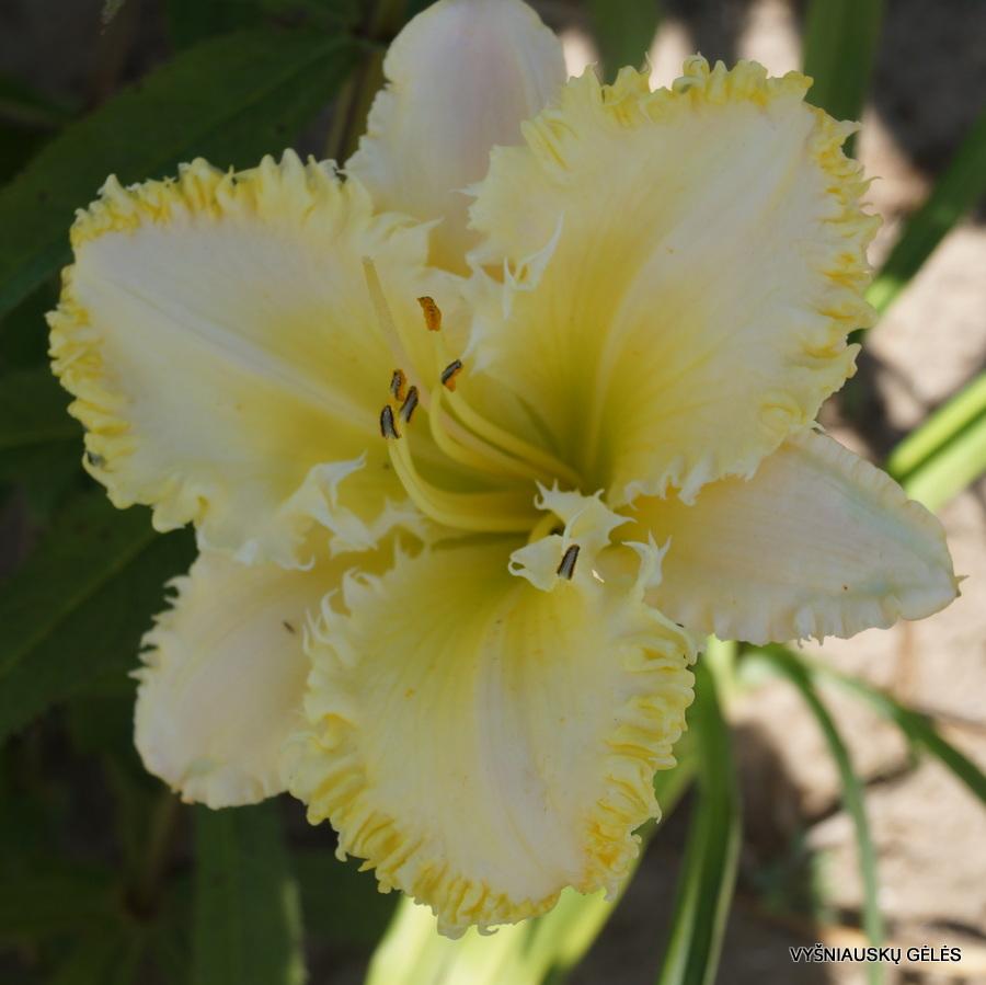 daylily S (3)
