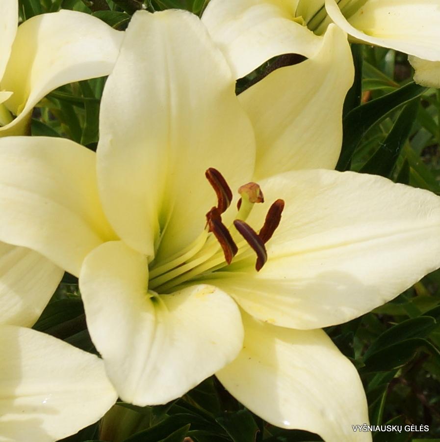 LA Lily hybrids