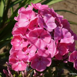 Phlox paniculata A (2)