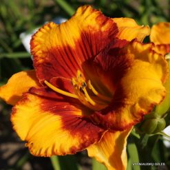 Daylily 'Adorable Tiger' (4)