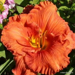Daylily 'Fit to Eat'