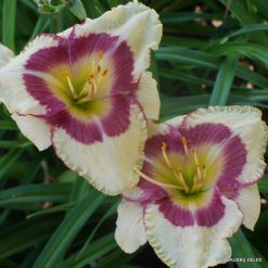 Daylily 'Grand Strand Beauty'