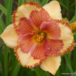 Daylily 'MeMe's Guilty Pleasure'