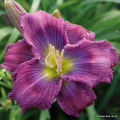 Daylily 'Move Over'