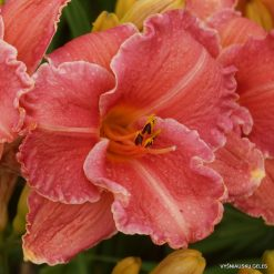Daylily 'Pretty Fancy'