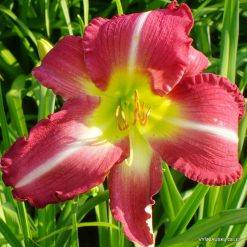 Daylily 'Russel Finley Memorial'