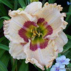 Daylily 'Spacecoast Eye for Passion'