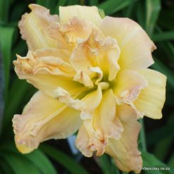 Daylily 'Spin and Twirl'