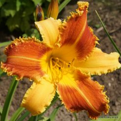 Daylily 'Tooth and Nail'
