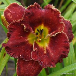 Hemerocallis 'Aeon Flux'
