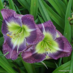 Hemerocallis 'Art of Illusion'