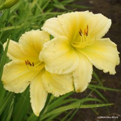 Hemerocallis 'Big Time Happy'