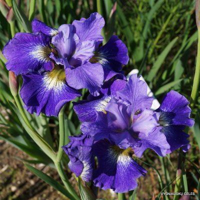 Iris 'Coronation Athem'