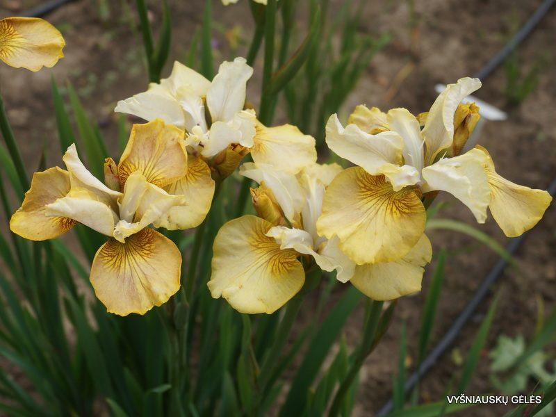 Iris 'Creme Caramel' (3)