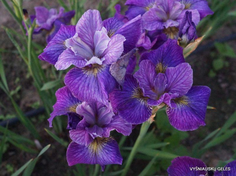 Iris 'Doreen Cambray' (2)