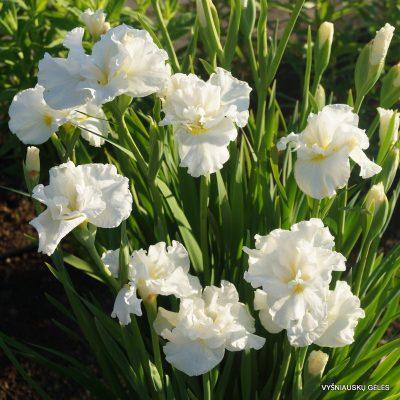 Iris 'Galadriel'