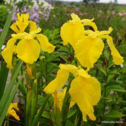 Iris 'Golden Queen'