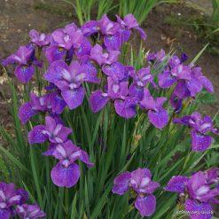 Iris 'Indy'