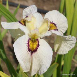 Iris 'Okagami' (2)