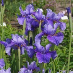 Iris 'Percheron'