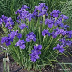 Iris 'Purple Prose'