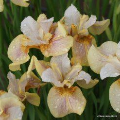 Iris 'Sound and Spirit'