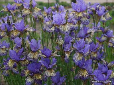 Iris sibirica 'Banish Misfortune' (3)