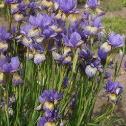Iris sibirica 'Banish Misfortune' (4)