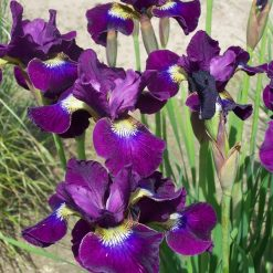 Iris sibirica 'Berlin Purple Wine' (4)