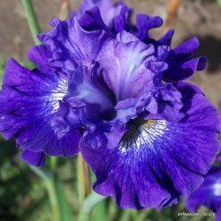 Iris sibirica 'Blueberry Fair'