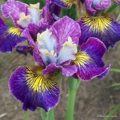 Iris sibirica 'Cape Cod Boys'