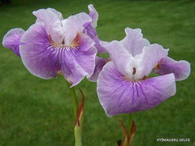 Iris sibirica 'Cherry Lynn' (2)