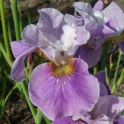 Iris sibirica 'Cherry Lynn'