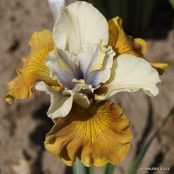 Iris sibirica 'Colonel Mustard'