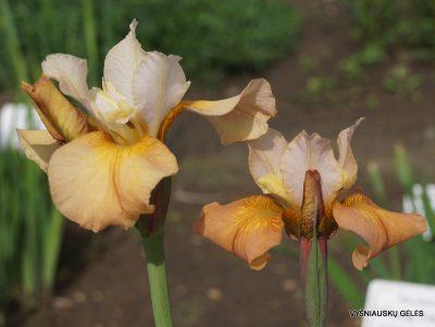 Iris sibirica 'Cream of Tomato' (2)