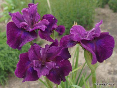 Iris sibirica 'Devil's Dream' (2)