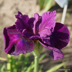 Iris sibirica 'Devil's Dream' (4)