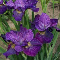 Iris sibirica 'Doreen Cambray' (4)