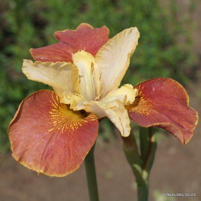 Iris sibirica 'Drink Your Tea' (2)