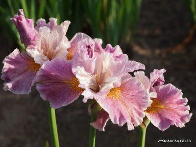 Iris sibirica 'Fancy Me This' (2)