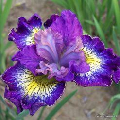Iris sibirica 'How Audacious'
