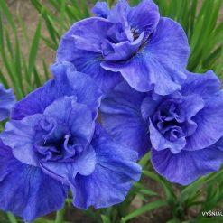 Iris sibirica 'Jiggles'