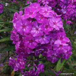 Phlox 'Adessa Special Purple Star'