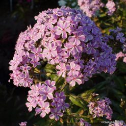 Phlox 'All in One' (2)