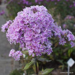 Phlox 'All in One' (3)